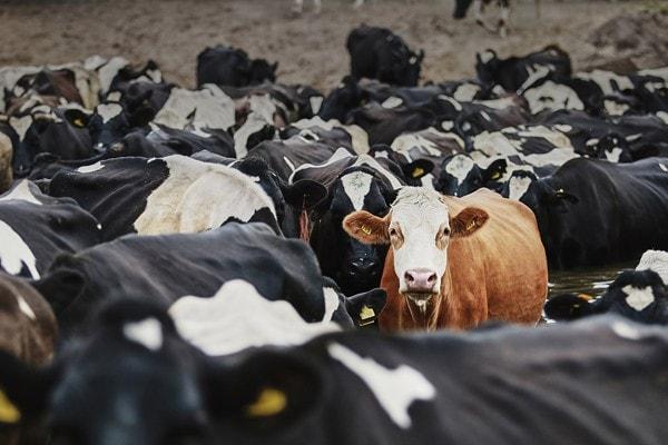 лимитированная серия «Vacas» — 25 экземпляров
